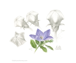 """A piece from summer 2016. Again, just a simple little garden plant, but presenting an element of natural wonder in how the pentagonal form of the bud blends into a rounded dome. Watercolour and graphite, approx 8""""h x 10""""w. ©Kathryn Chorney"""
