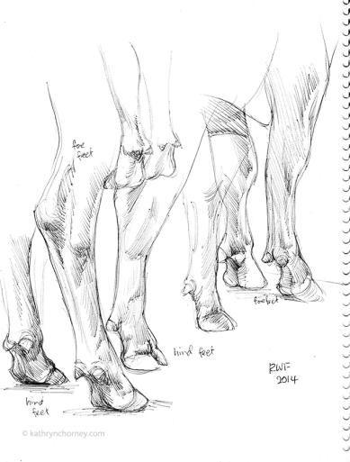 RWF - Cattle Feet Study, 2014, ballpoint ink