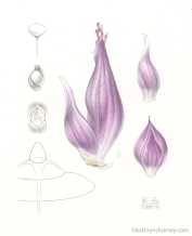 "Further adventures in illustrating purple onions. The imaginary figures began as sketchbook drawings and are done freehand - I don't use digital software for these. Watercolour and graphite, 14""h x 11""w. ©Kathryn Chorney"