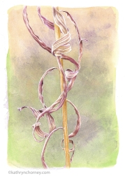 """Second in a series of three studies of this species. Many botanical illustrators are drawn to the appearance of plants in the winter season, and I am no exception. Watercolour, casein, acrylic, 13.5""""h x 10.5""""w. ©Kathryn Chorney (original in private collection)"""