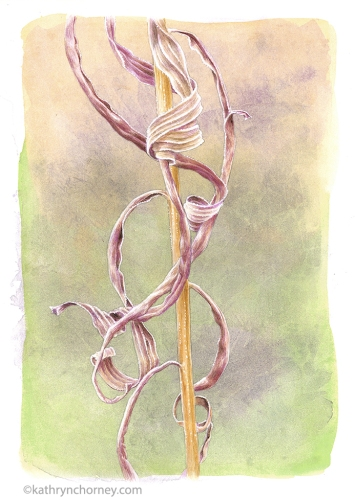 "Second in a series of three studies of this species. Many botanical illustrators are drawn to the appearance of plants in the winter season, and I am no exception. Watercolour, casein, acrylic, 13.5""h x 10.5""w. ©Kathryn Chorney (original in private collection)"
