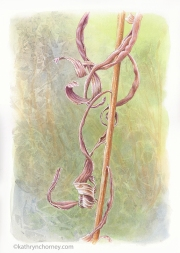 """Third in series of three studies of this species. When I find an interesting weed in the woods, often I have to do quite a bit of searching to find out what it is. That's one of the great things about drawing and illustrating -- it's always a learning experience. Watercolour, casein, acrylic, 13.5""""h x 10.5""""w. ©Kathryn Chorney"""