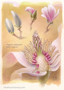 """This species, one of the most popular garden magnolias, is a hybrid that dates from the 19th century. Magnolias however are among the most ancient flowering plants -- dating back to the Tertiary period, 100 million years ago. We are most familiar with the petals of flowers, but to me the really fascinating forms are the reproductive structures hidden in the center. Watercolour, casein, acrylic, 17.5""""h x 12.5""""w. ©Kathryn Chorney (original in private collection)"""