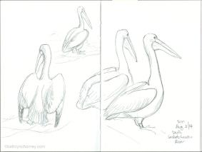 Pelicans, 2014