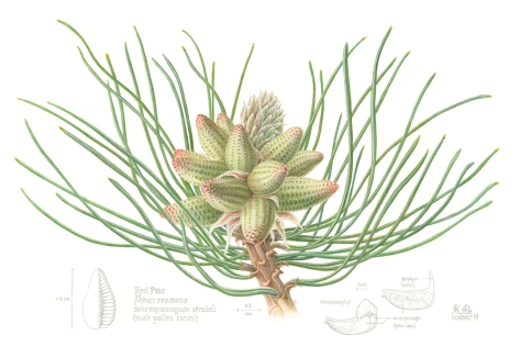 "Bundle of male pollen cones of the Red Pine, one of the most prolific native trees of Canada. This piece has been juried into the Art of the Plant exhibition, taking place at the Canadian Museum of Nature, Ottawa, May - Oct 2018. The exhibition is part of a global collaboration celebrating native plant diversity and will be exhibited online worldwide, along with botanical art exhibits from 25 participating countries.Watercolour, casein, and graphite, 13""h x 19""w, ©Kathryn Chorney"