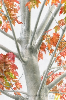 "A young Red Maple tree in one of the lakeside parks in Toronto, seen against a pale, overcast sky. I used liquid frisket to mask around the leaf masses so that I could render them using loose wet-in-wet and a variety of sponging techniques. I thought this contrasted in an interesting way with the delicate contours of the bark, rendered in graphite and subtle washes. Watercolour & graphite, 17.5"" x 11.5"". ©Kathryn Chorney"