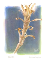 I recently did some digital reworking to the composition of this study of a dried bromeliad stem. The more I thought about it, the more it seemed to me that this stem, even in death, contained so much life, even seeming to spring upwards, perhaps towards a new state of existence. I reworked the background digitally to enhance the effect. Watercolour, casein, acrylic, digital. 2012 (revised 2019) ©Kathryn Chorney