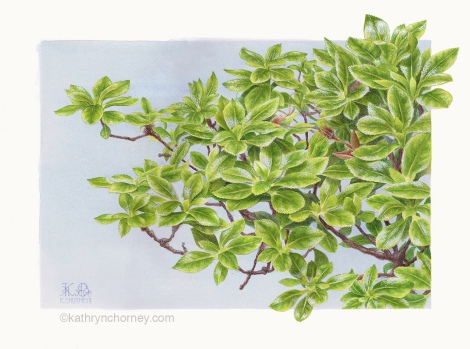 This Azalea was a gift from a graduating class several years ago. I decided to extend its life as a series of paintings; this is one of them. Watercolour, casein. ©Kathryn Chorney