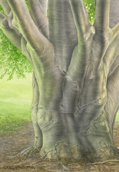 """This European Beech stands on the St George (downtown) campus of the University of Toronto, outside Hart House. Watercolour and graphite, 17.5"""" x 12"""". ©Kathryn Chorney"""