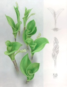 """I have always looked forward to seeing the spiralling forms of the paired leaves of this plant, as they emerge and unfold each spring. I've always thought this would be the ideal time in the season to illustrate them. This year (2021) I finally had the chance. Colour pencil on drafting film, 13.5"""" x 10.5"""". ©Kathryn Chorney"""
